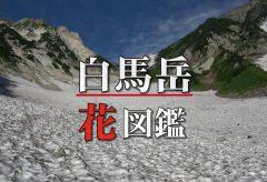 【Views】『白馬花図鑑』6分3秒〜夏の白馬岳の高山植物を絶景を交えて綴る植物図鑑。スチル写真を使った美しい星空も