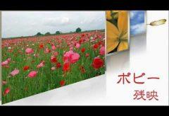 【Views】『ポピー残映』3分11秒~荒川河川敷に広がるポピーの花の群生をフィラー風に