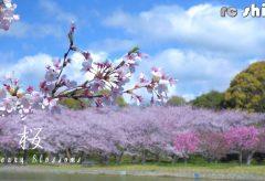 【Views】『桜 Cherry Blossoms』2分20秒~可憐さと力強さをあわせ持つ音楽に乗せて散り初めの桜とともに刹那の時間が紡がれていく