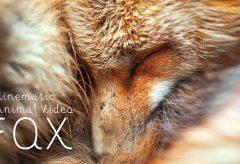 【Views】『FOX – Cinematic Animal Video』2分47秒~こんなにじっくりとキツネを見たことがあっただろうか・・カメラとの対話まで感じさせるネイチャームービー