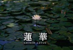 【Views】693『蓮華 sacred lotus』3分6秒〜古寺と袂の蓮池を硬派な画調と大胆な構図で点描