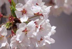 【Views】703『Harukaze Ni 舞う』3分30秒~桜と青空の対比が美しい散り際の花の舞ムービー