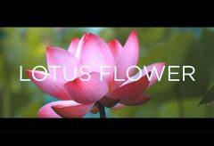 【Views】726『A CINEMATIC LOTUS FLOWE』2分16秒〜お昼までの短い命の蓮の花を様々な見せ方でスピーディーに描く