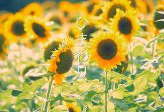 【Views】788『ひまわり』2分23秒〜その夏らしい姿を表現するのが難しいと言われる題材。 作者は夏の光線に合わせた映像で時間の変化と色の変化で表現に厚みを付ける