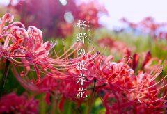 【Views】828『柊野の彼岸花』3分47秒〜花に群がる蝶、道ばたに咲く花の隣の地蔵である田の神さぁ、さらにこの地に咲く彼岸花としての視点も絡めて描いていく