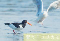 【Views】1103『奪う!ユリカモメ』1分41秒〜鳥たちの世界をちょっと覗き見