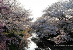 【Views】1122『川路桜2020』5分21秒〜散りゆく花で川面を埋め尽くし最後に見せてくれた花筏が見事