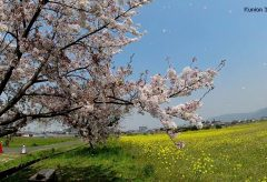【Views】1126『さくら と 菜の花畑』2分30秒〜桜と菜の花のコラボを楽しむ