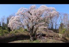 【Views】1146『宮城の桜~Spring of Miyagi』3分51秒〜宮城の春をショートムービーに