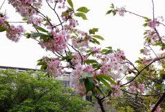 【Views】1156『神秘の桜「御衣黄」 奈良市法蓮・川路エリア2020.4』5分28秒〜開花から満開までを追ったプチドキュメント