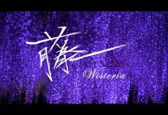 【Views】1177『藤の花』1分40秒〜淡い薄紫色の藤の花を昼間から夜景へとコントラストで魅せる作品