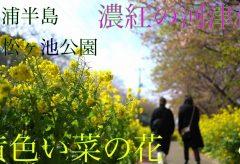 【Views】1625『小松ヶ池公園 河津桜と菜の花』4分