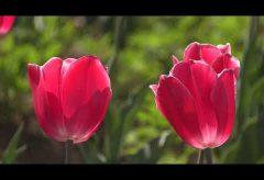【Views】1748『花のオアシスチューリップ畑』3分39秒